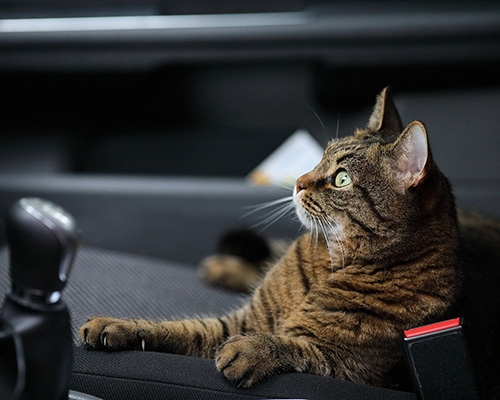 https://oanimo.fr/wp-content/uploads/2019/05/chat-en-voiture-service-transport-animaux-500x400.jpg